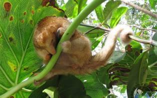 Do alto das copas das árvores para os arquivos científicos. O tamanduá-anão não é é apenas uma espécie