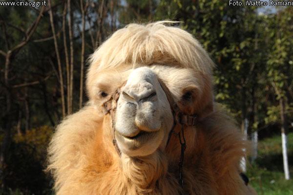 cammello-bactriano