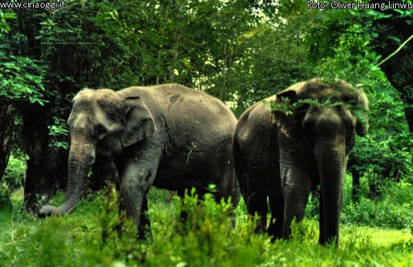 elefanti-asiatici