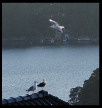 9:45 pm on July 1, 2014 - seagulls in Lysekloster, Norway