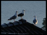 9:44 pm on July 1, 2014 - seagulls in Lysekloster, Norway