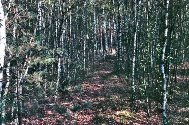 Brandenburg Forest Wald birch trees