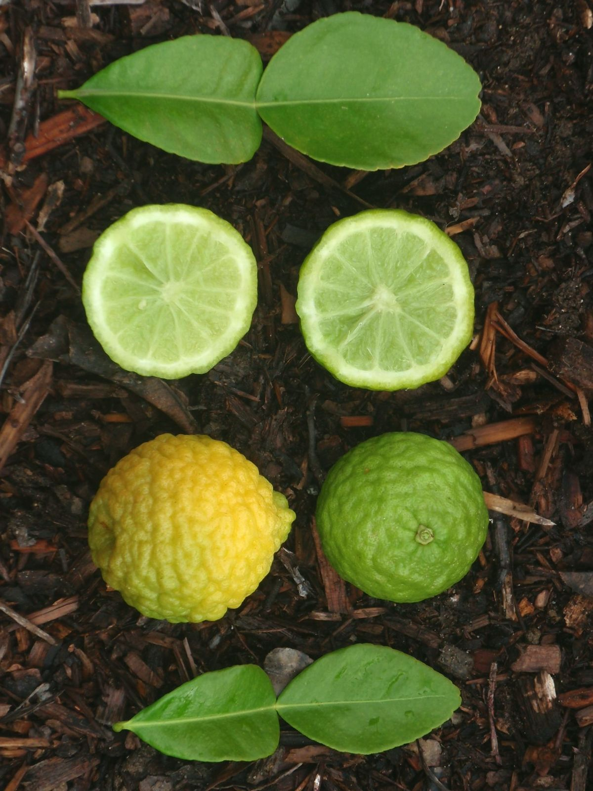 Modern Kaffir Citrus Hystrix Citrus Pages Limes Difference Between Lime Lemon Orange Difference Between Lime Lemon Plant houzz 01 Difference Between Lime And Lemon