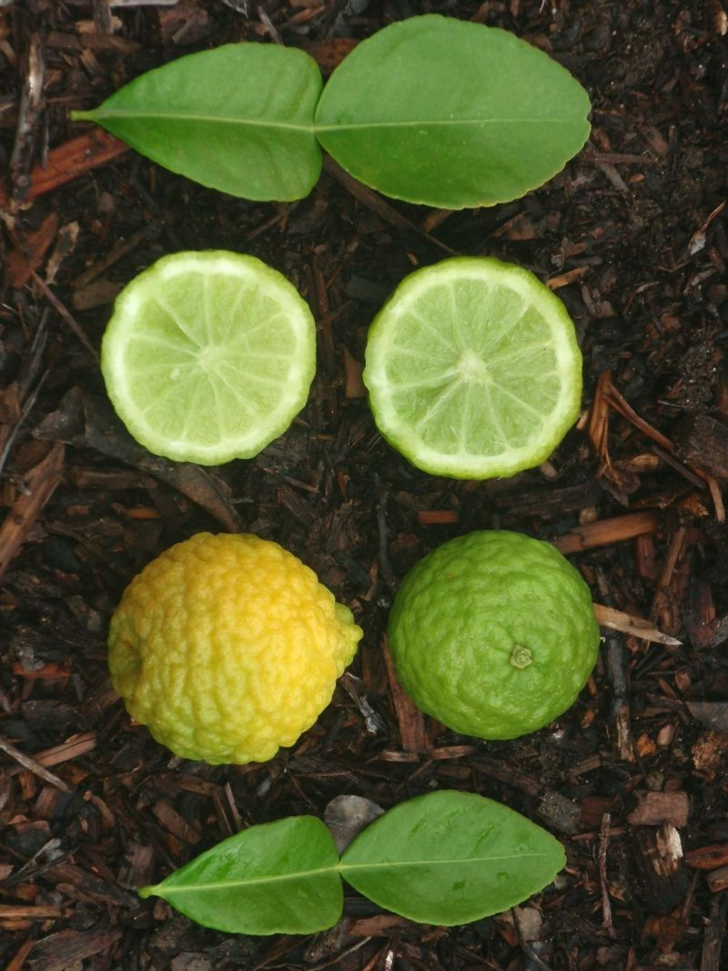 Large Of Difference Between Lime And Lemon