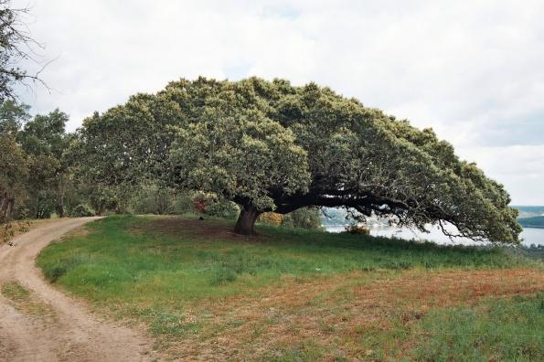 percurso pedestre: Á procura da Quercus ilex ssp …