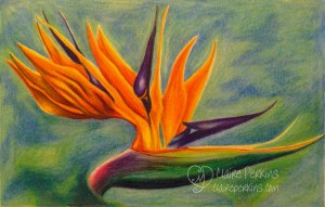 """Bird of Paradise"" 11"" x 7"" Colored Pencil on Bristol Board"
