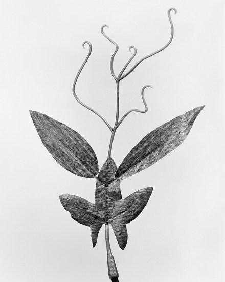 Robert Voit, Lathyrus Odoratus