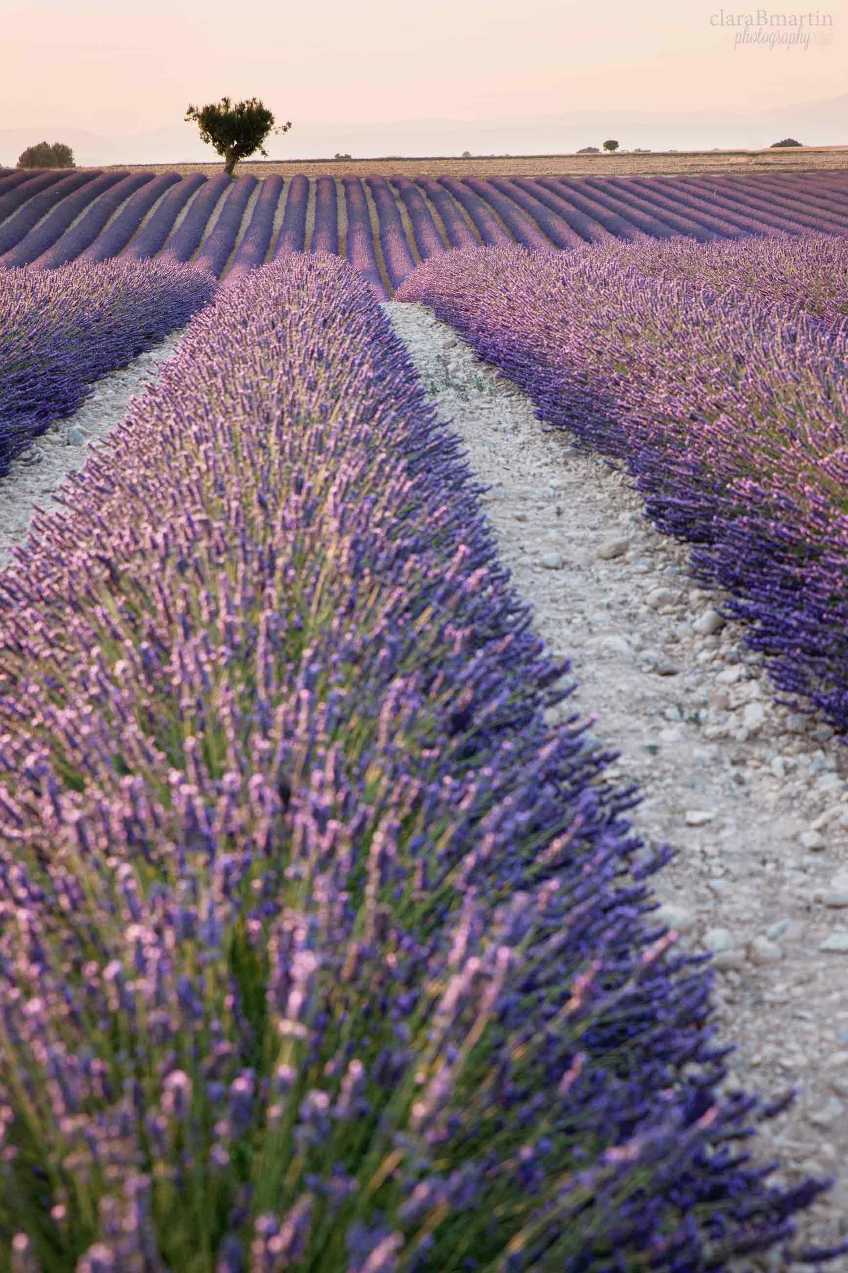 Lavender-fields-Provence-claraBmartin12