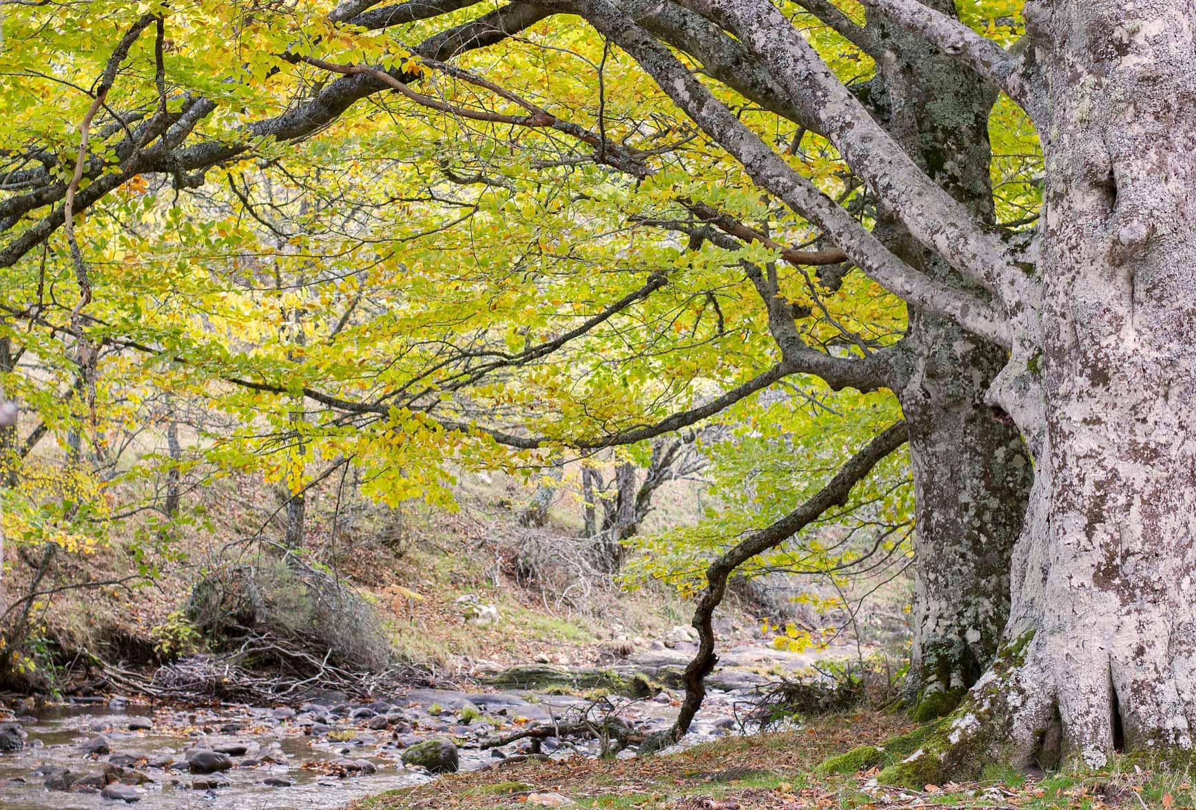 Bosques cerca de Madrid para ir con niños - Hayedo de Montejo
