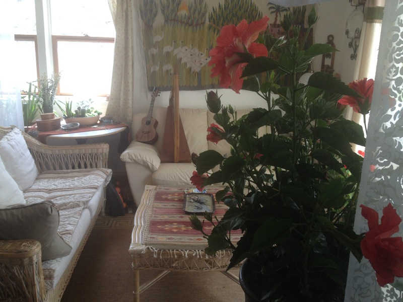 The Hibiscus blooms fully in Clarissa's livingroom