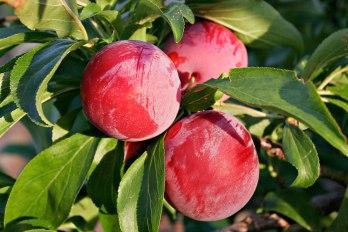 Prunus cultivar (mature fruits with natural wax bloom)