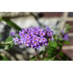 Small Crop Of Dwarf Butterfly Bush