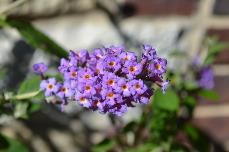 Large Of Dwarf Butterfly Bush
