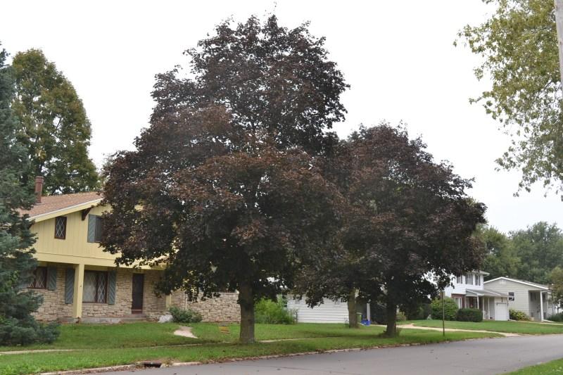 Large Of Crimson King Maple