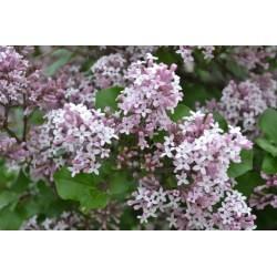 Small Crop Of Dwarf Korean Lilac Tree