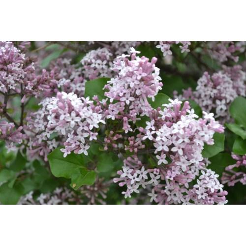 Medium Crop Of Dwarf Korean Lilac Tree