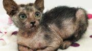Rare 'Werewolf Cat' found in SA
