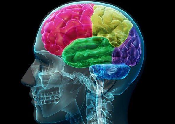 brain_lobes
