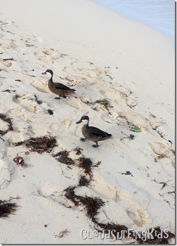 Beach Day- Ducks
