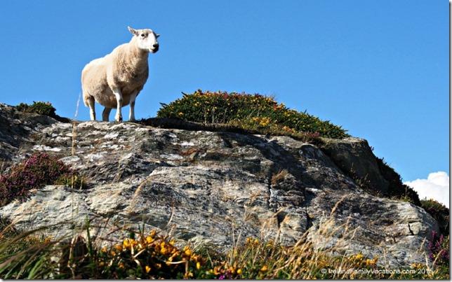 Sheep at Sheep's Head Peninsula County Cork