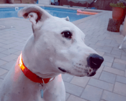 Squeaker Dog Collar Review