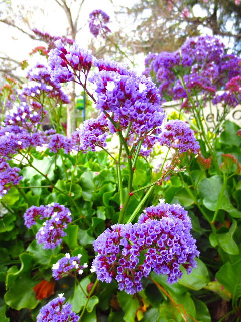 purple lilac plant bush shrub garden flower flowers spring bloom blossoms