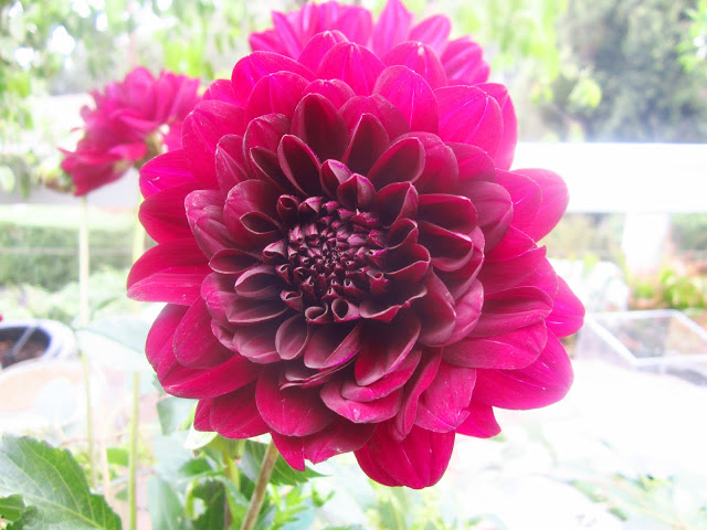 Close up of Burgundy dahlia