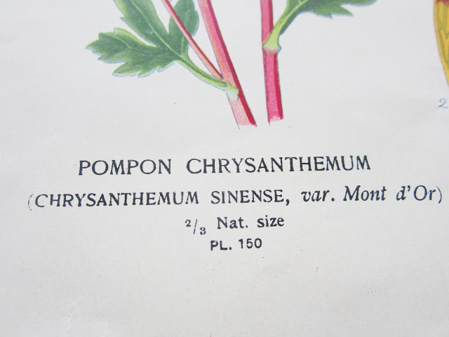 Close up of text from Pompon Chrysanthemum botanical print