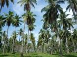 COCO FRESCO的椰子皆為精選中的精選