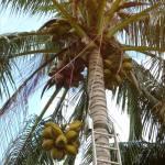 Lowering Coconuts