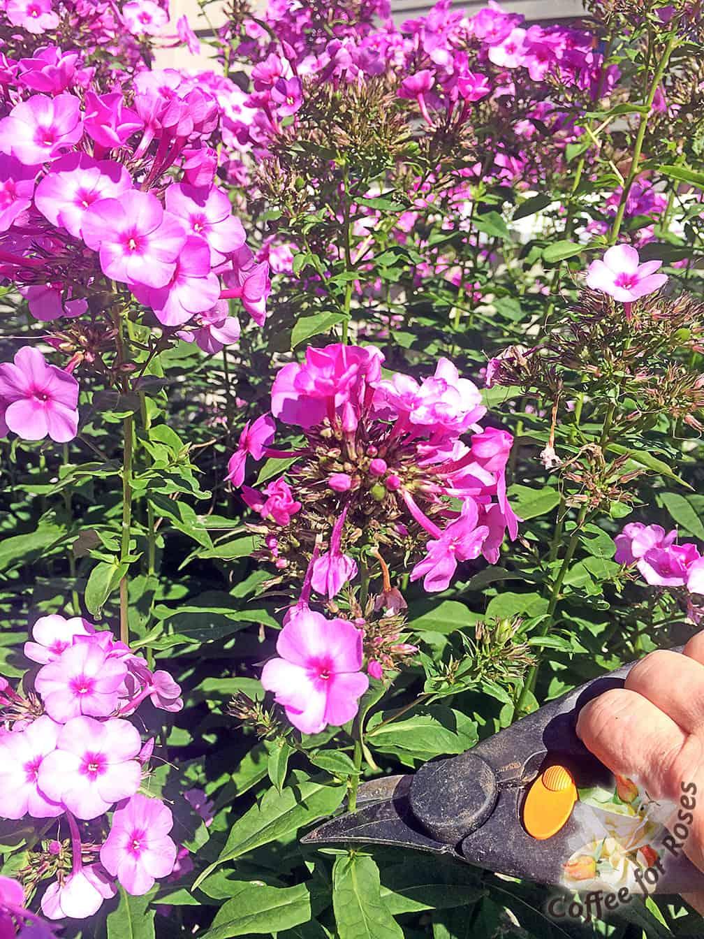 High To Deadhead Phlox You Clip Just Below Declining Flower Or Seed Coffee Roses Deadheading Summer Phlox How To Deadhead Roses Rhs How To Deadhead Roses After Bloom houzz-03 How To Deadhead Roses