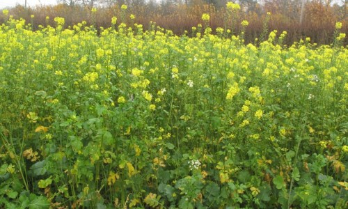 Game Cover Crops