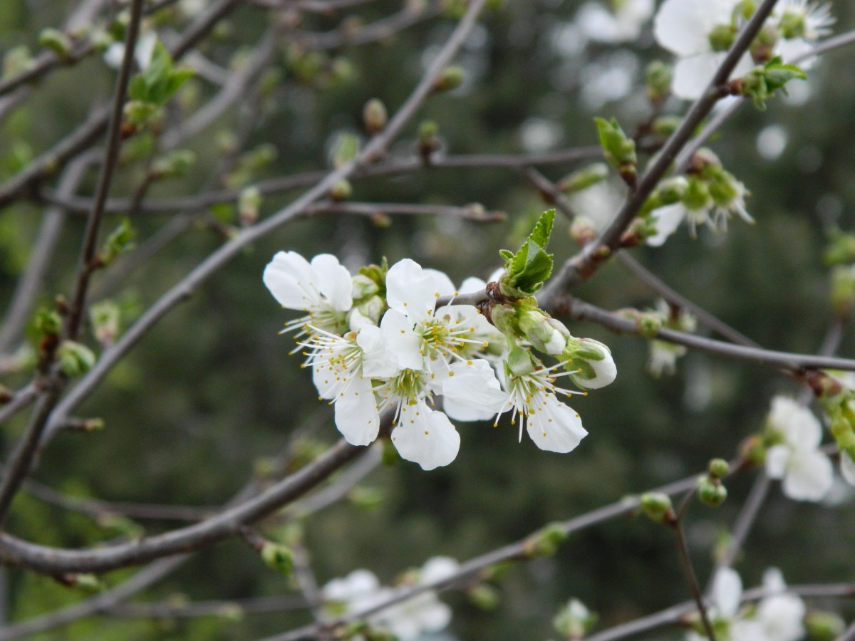 Looking for fruit tree? Try Balaton cherry