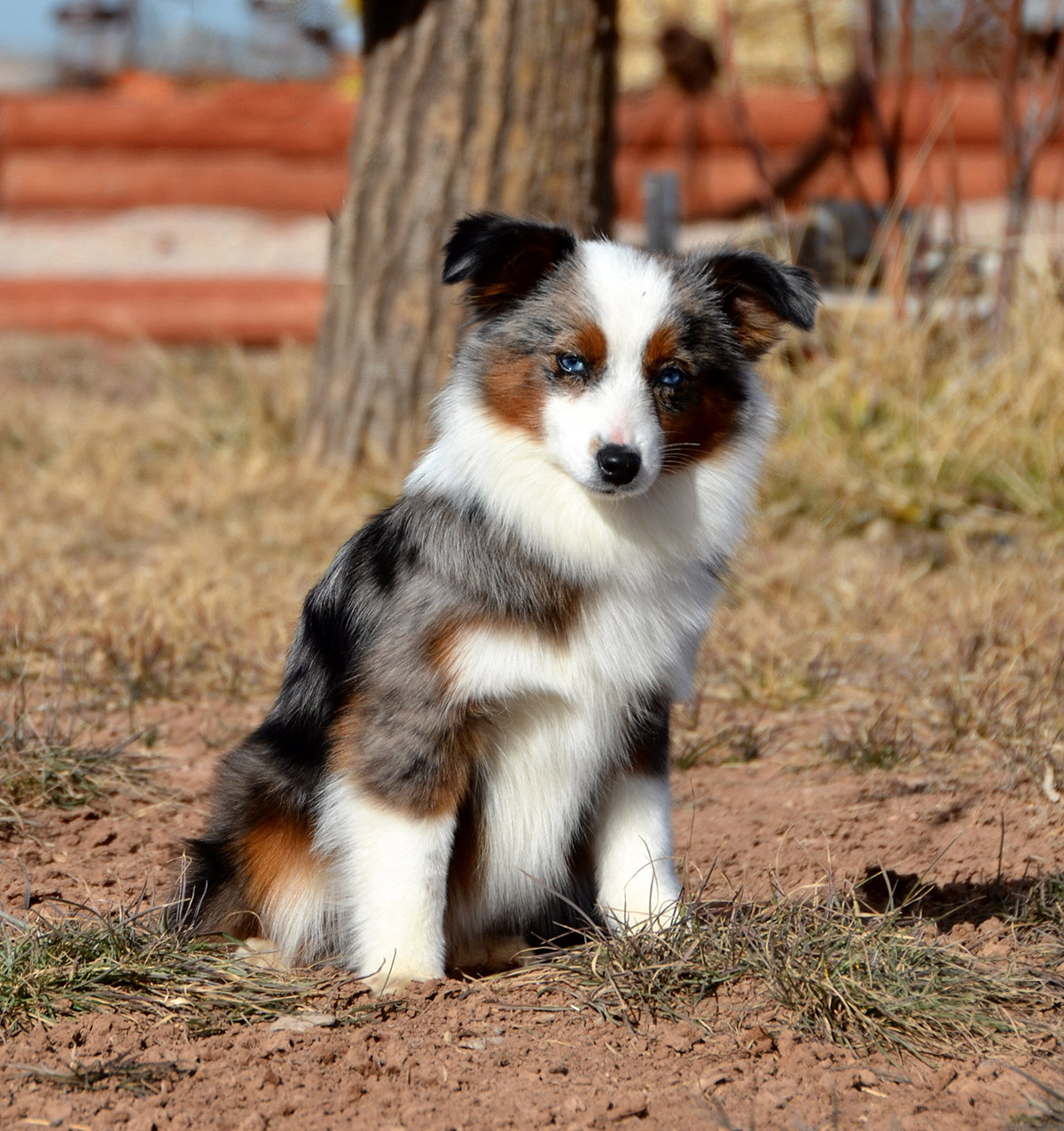 Grande About Aussies Color Country Aussies Does Australian Shepherds Shed Do Australian Shepherds Shed Bad bark post Do Australian Shepherds Shed