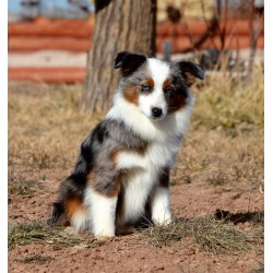Grande About Aussies Color Country Aussies Does Australian Shepherds Shed Do Australian Shepherds Shed Bad