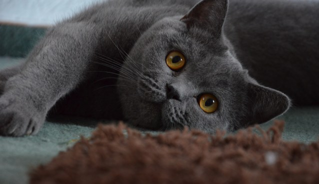 british-shorthair-1573559_1920