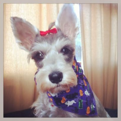 Botoneta the Schnauzer - Dog Bandana