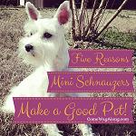 5 Reasons Miniature Schnauzers Make a Good Pet