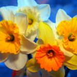 Thank Goodness for Daffodils