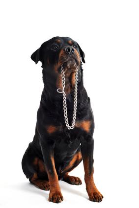 collier de dressage pour chiens avis et conseils. Black Bedroom Furniture Sets. Home Design Ideas