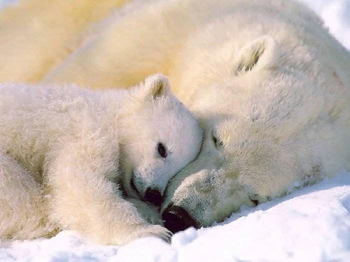 La existencia de los animales polares se ve afectada por el cambio climático