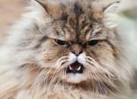 gato responsable de problemas de ira toxoplasma