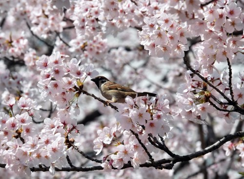 JAPAN-SPRING-WEATHER-CULTURE-CHERRY BLOSSOM