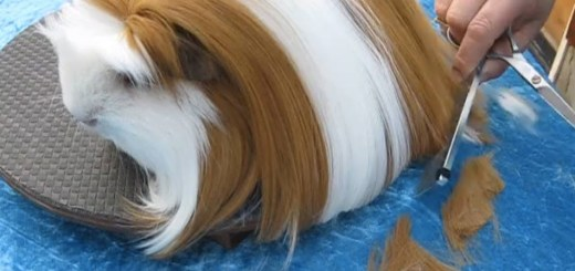 guinea-pig-haircut