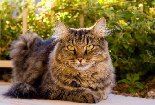tabby cat sunset