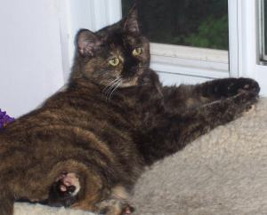tortoiseshell-cat-window