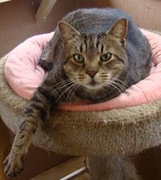 adoptable tabby cat