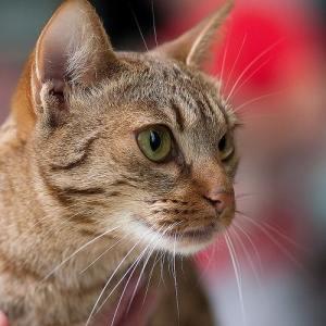 brown_tabby_cat