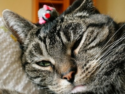 pain-management-for-cats