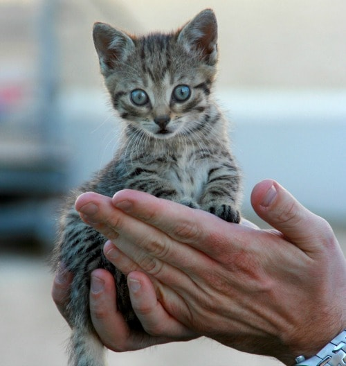Fathers-day-kitten